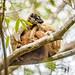 Common Brown Lemur (Elemur fulvus)