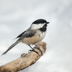 Chickadee Bath-49074.jpg (Mully410 * Images) Tags: birdwatching birding winter bath bird birds cold chickadee blackcappedchickadee snow