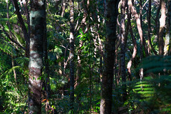 Fernglen Podocarp (fate atc) Tags: auckland billandmurielfisher birkenhead fernglen nznativeplants newzealand northshore bush ferns offkaurird plants podocarp trees