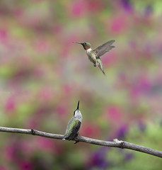 Two Birds_DSC1432 (DansPhotoArt) Tags: hummingbird little natural outdoor alert animal archilocuscolubris aves avian backyard balance beak beautiful beijaflores bird birds birdwatching black bokeh colibris color colorful fauna free fresh garden green hummer migratory nature nopeople ornithology outdoors perched rubythroatedhummingbird small summer tiny white wild wildlife wing wings iridescent shining ruby red pollinator pollination pajarito isolated feather background apodiformes beauty