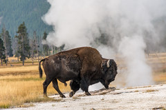 free bison steam wash (Pejasar) Tags: bison buffalo american steam bath wash yellowstone nationalpark animal mammal big trees grass green