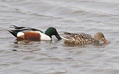 F_032019h (Eric C. Reuter) Tags: birds birding nature wildlife nj forsythe refuge nwr oceanville brigantine march 2019 032019