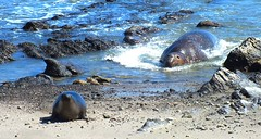 Male Elephant Seal chasing a female or weaner (Martin Boissel) Tags: elephantseal seal mammifère mammal california chasing nature wildlife finepixhs30 finepixhs30exr