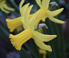 Yellow (MJ Harbey) Tags: daffodil flower yellowdaffodil narcissus amaryllidaceae narcisseae plantae garden buckinghamshire nikon d3300 nikond3300