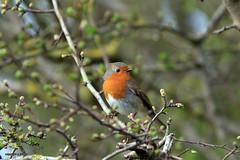 Robin J78A0188 (M0JRA) Tags: robins birds humber ponds lakes people trees fields walks farms traylers