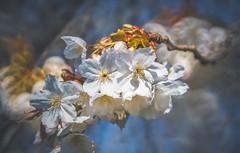 Plena Cherry Blossom (Dhina A) Tags: sony a7rii ilce7rm2 a7r2 a7r minolta rf rokkorx 250mm f56 mirror reflex minolta250mmf56 md prime rokkor bokeh manualfocus plena cherry blossom spring
