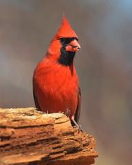 Northern Cardinal (Arvo Poolar) Tags: outdoors canada arvopoolar scarborough guildinn bird perched nature naturallight natural nikond7000 naturephotography northerncardinal male