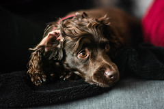 Lizzie (Shaun Mint) Tags: cocker spaniel dog pup nikon d7100 50mm yongnuo f14 manual photography cute pet portrait lightroom lightroompresets nikoneurope d7100users flickr cockerspaniel