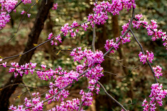 Spring 2019 Blooms (3) (tommaync) Tags: spring 2019 march blooms buds nature outdoor trees nikon d7500 chathamcounty chatham nc northcarolina redbud redbuds purple