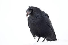 Common Raven (Corvus corax) with mouse remains (rangerbatt) Tags: commonraven corvuscorax raven bird corvidae wasatchmountains wildutah utahwildlife d7500 sigma150600mmsports nikon ravenwithmouse