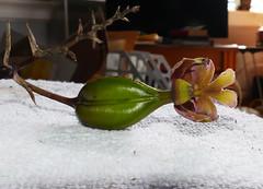 Epidendrum schweinfurthianum seed pod 3-19 (nolehace) Tags: epidendrum schweinfurthianum seed pod 319 spring nolehace sanfrancisco fz1000 flower plant