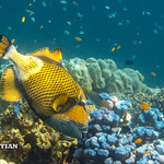 Titan Triggerfish on the coral reef of the Surin islands, Thailand, Indian Ocean thumbnail