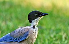 Pega azul (Zéza Lemos) Tags: pegaazul pássaros pajaros pássaro aves ave jardim jardins jardineiro penas arlivre relvado