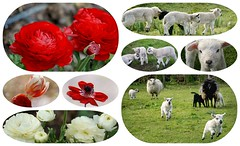 11/52 Spring Flowers and Spring Lambs (Martina Morris ( Ireland) Thanks for your visit) Tags: 1152 5252 spring lambs flowerscloseup outdoors nature newlife garden farm field sheep boylecameraclub boyle coroscommon ireland martinamorris images