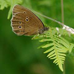 Brauner Waldvogel (Aphantopus hyperantus) (Carsten Weigel) Tags: braunerwaldvogel aphantopushyperantus schmetterling butterfly farfalla insect carstenweigel panasonicgx8 panasonic14140mmf3556