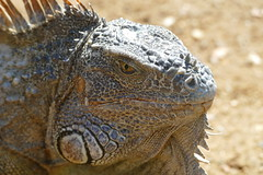 iguana - Dragon (Toddy_76) Tags: leguan iguana roatan honduras dragon old animal photo fz1000