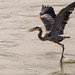 Great blue heron flies off with a fish