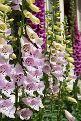 Garden Archer G2 FoxgloveG02_8415.jpg (st peters gardens armidale) Tags: 2018 plants australia gardenweekend toprint towngarden nsw garden newengland eudicot stpeters events places flowering foxglove church nature magnoliophyta digitalis phanerogamae plantaginaceae magnolopsida plant flora lamiales armidaleregion plantae opengardens gardenweekendflickr northerntablelands armidale erskinest dicot angiospermae
