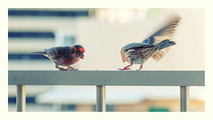I be thinking finches... (marneejill) Tags: house finch urban movement wing honolulu balcony eating
