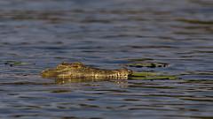Crocodile (Thomas Retterath) Tags: thomasretterath chobe afrika africa botswana 2018 safari nopeople natur nature wildlife boot boat crocodylusniloticus nilkrokodil crocodile krokodil crocodilia echtekrokodile crocodylidae reptiles reptilien animals tiere nilecrocodile fluss river
