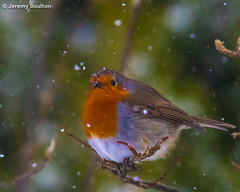 Snow is falling (JKmedia) Tags: snowing snow robin garden bird avian red breast feathers feathery boultonphotography 2018