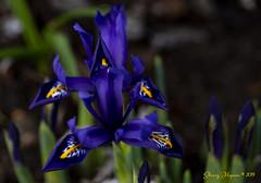 Opening blooms of spring (sherry*h) Tags: spring flowers garden gardening