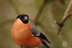 Bullfinch (hedgehoggarden1) Tags: bullfinch birds rspb wildlife nature sonycybershot creature animal bird norfolk eastanglia uk sony