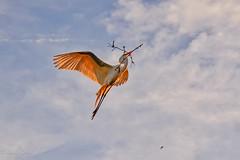 Sunset Delivery (dngovoni) Tags: action bird egret flight florida greategret staugustine sunset wildlife saintaugustine unitedstates us