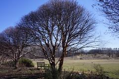 Arboretum in Winter: National Herb Garden birch border, US National Arboretum, Washington, DC (jmlwinder) Tags: inwinter nationalherbgarden usnatonalarboretum washingtondc