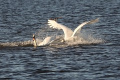 IMG_2435 (LezFoto) Tags: swan mute cygnusolor loirstonloch aberdeen scotland unitedkingdom canoneos700d sigma 700d canon 120400mmf4556dgapooshsm digitalslr dslr canonphotography sigmalens fight splash splashing action