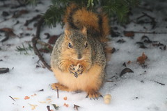 Fox Squirrels on a Cold, Icy, Snowy & All-Together Lousy Winter's Day in Ann Arbor at the University of Michigan -  February 12th, 2019 (cseeman) Tags: gobluesquirrels squirrels foxsquirrels easternfoxsquirrels michiganfoxsquirrels universityofmichiganfoxsquirrels annarbor michigan animal campus universityofmichigan umsquirrels02122019 winter eating peanuts februaryumsquirrel ice snow snowy cavitynest cavitytreenest climber squirrelclimber wet rainy freezingrain