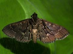 Sooty Bead chain moth Syllepte sp Spilomelinae Crambidae Airlie Beach Rainforest P1050284 (Steve & Alison1) Tags: sooty bead chain moth syllepte sp spilomelinae crambidae airlie beach rainforest