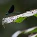 Wli dragonfly
