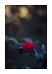 2019/1/27 - 3/12 photo by shin ikegami. - SONY ILCE‑7M2 / Carl Zeiss C Sonnar T* 1.5/50 ZM (shin ikegami) Tags: asia sony ilce7m2 sonyilce7m2 a7ii 50mm carlzeiss sonnar csonnar50mmf15 tokyo sonycamera photo photographer 単焦点 iso800 ndfilter light shadow 自然 nature 玉ボケ bokeh depthoffield naturephotography art photography japan earth