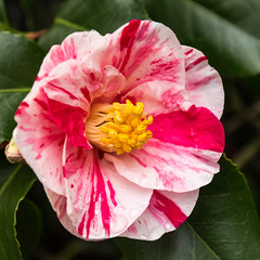 Camellia (20190301_3) (Graham Dash) Tags: nationaltrust winkwortharboretum camellias flowers 2019pad