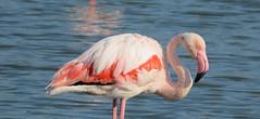 Flamingo (Meino NL) Tags: flamingo leparcornithologiquedepontdegau camargue pontdegau phoenicopteridae france frankrijk zuidfrankrijk saintesmariesdelamer vogel bird