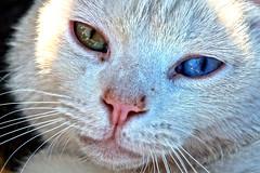 YellowBlue ©twe2014☼ (theWolfsEye☼) Tags: thewolfseye cats katzen hauskatzen housecats animals tiere miau domesticcats augen eyes cby