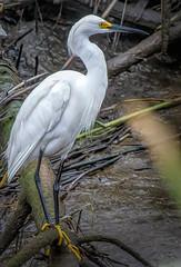 Snowy Egret on Canary Creek (stevebfotos) Tags: water delawarebay lewes egrettathula snowyegret canarycreek greatmarsh