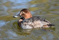 Mrs Pochard (Eleanor (No multiple invites please)) Tags: duck pochard femalepochard water regentspark london nikond7200 february2019 coth5 ngc