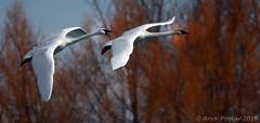 Trumpeter Swan flight (Arvo Poolar) Tags: outdoors ontario canada scarborough scarboroughbluffs arvopoolar bird nature naturallight natural nikond7000 naturephotography trumpeterswan inflight wildlife winter wings