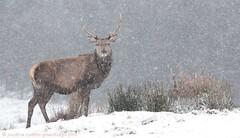 Pg197129 Red Deer Snow (Pauline & Ian Wildlife Images) Tags: reddeer cairngorms scotland uk wilderness