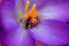 20190317-_MB83332- Matthias Bauernschmidt Fotografie (MIAS#Fotografie) Tags: bokeh frühling krokus makro marienkäfer sigma105mm ladybug spring crocus