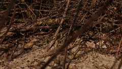 Canebrake (Crotalus horridus) (Ian Deery) Tags: insitu macro 75mm sigma sony deery ian venomous herping herp horridus crotalus rattlesnake cane canebrake