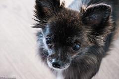 Simba🐾 (robynnnsophie1) Tags: camera home brown black love chihuahua puppy dog fujixt20 fuji