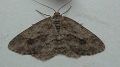 Melanic Engrailed (Ectropis crepuscularia) (Bruce Hurst aka Zincfreud) Tags: moths lepidopterans lepidotera macromoths entomology