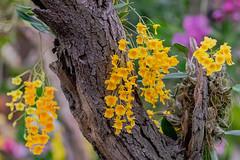 Orchideen V (a7m2) Tags: international orchid exhibition klosterneuburgabbey loweraustria orchideen blumem flower flora besucher ausstellung gärtner züchter