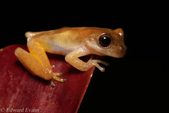 Bromeliad tree frog (Bromeliohyla bromeliacia) (edward.evans) Tags: sierradelmerendón merendonmountains honduras cusuco cusuconationalpark cloudforest rainforest wildlife nature centralamerica latinamerica bromeliohylabromeliacia bromeliohyla bromeliadfrog bromeliad frog amphibian anura