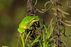 Mediterranean Tree Frog - Rela-meridional - Hyla meridionalis (www.craigrogers.photography) Tags: frog treefrog sapo portugal algarve heriping