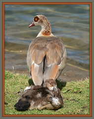 Staying close to Mum (maryimackins) Tags: egyptian goose gosling wildlife kent tonbridge haysden park mary mackins