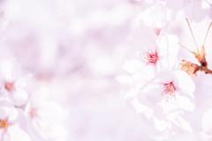 Cherry blossoms (Hiro_A) Tags: sakura cherryblossoms flower spring nikon d7200 sigma 1770 1770mm imabari ehime shikoku japan